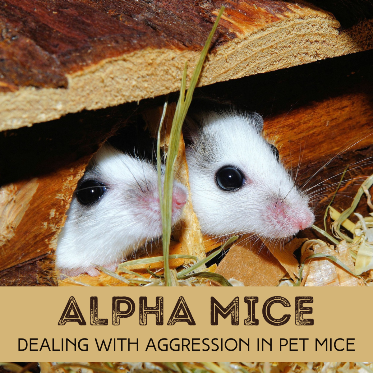 Learn about dominance in mice, and get advice about what kind of fighting is normal—and what to do when it goes too far.