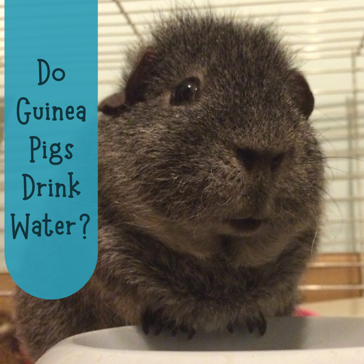 Why Isn't My Guinea Pig Drinking Water?