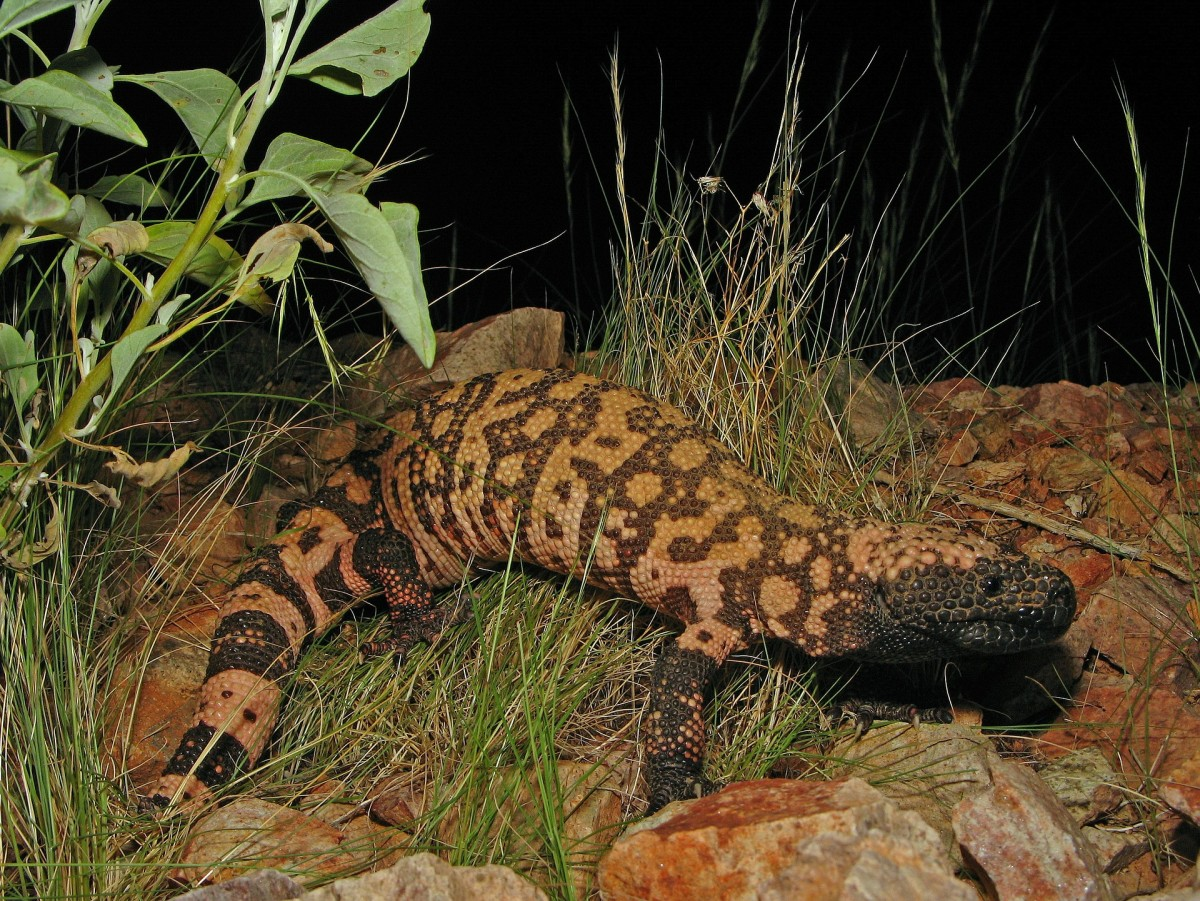 Everything You Need To Know About Gila Monster