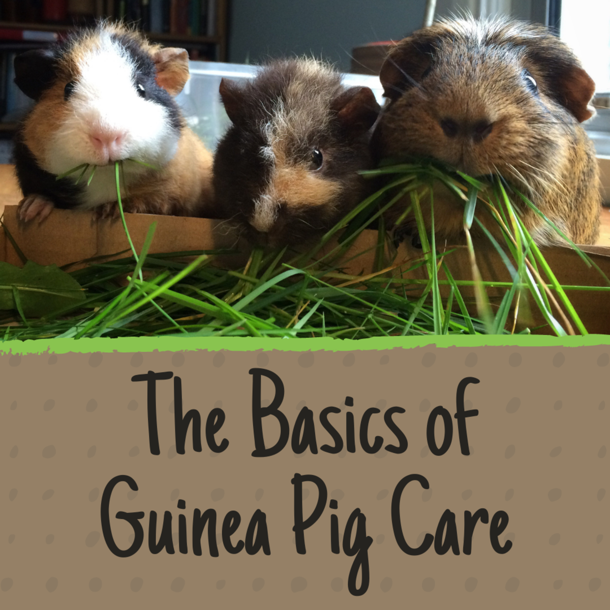 Everything You Need for Guinea Pigs: New Owner's Care Guide