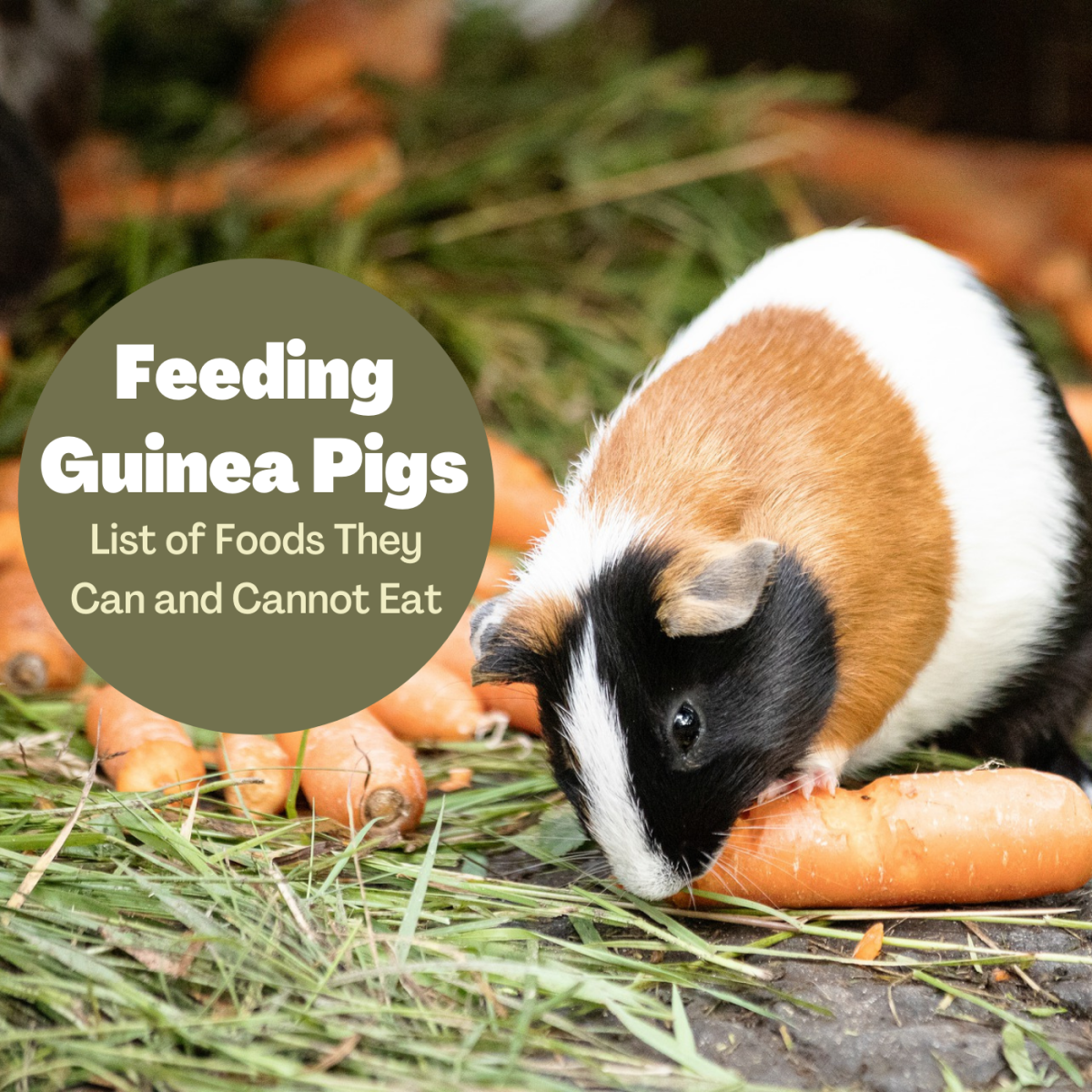 Guinea pigs can eat carrots, among many other fresh veggies. Learn more about what you can and cannot feed your pet.