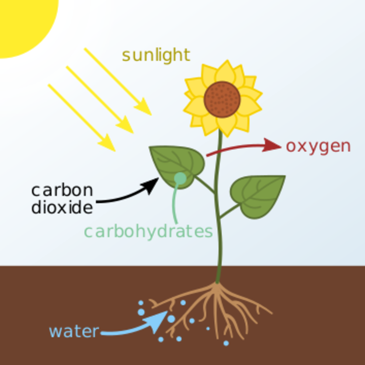 Here's a simple diagram that shows the process of photosynthesis. Water  (carrying nutrients) travels up the roots of a plant and interacts with other elements to produce sugars (food). Oxygen is left over, which the plant breathes out.