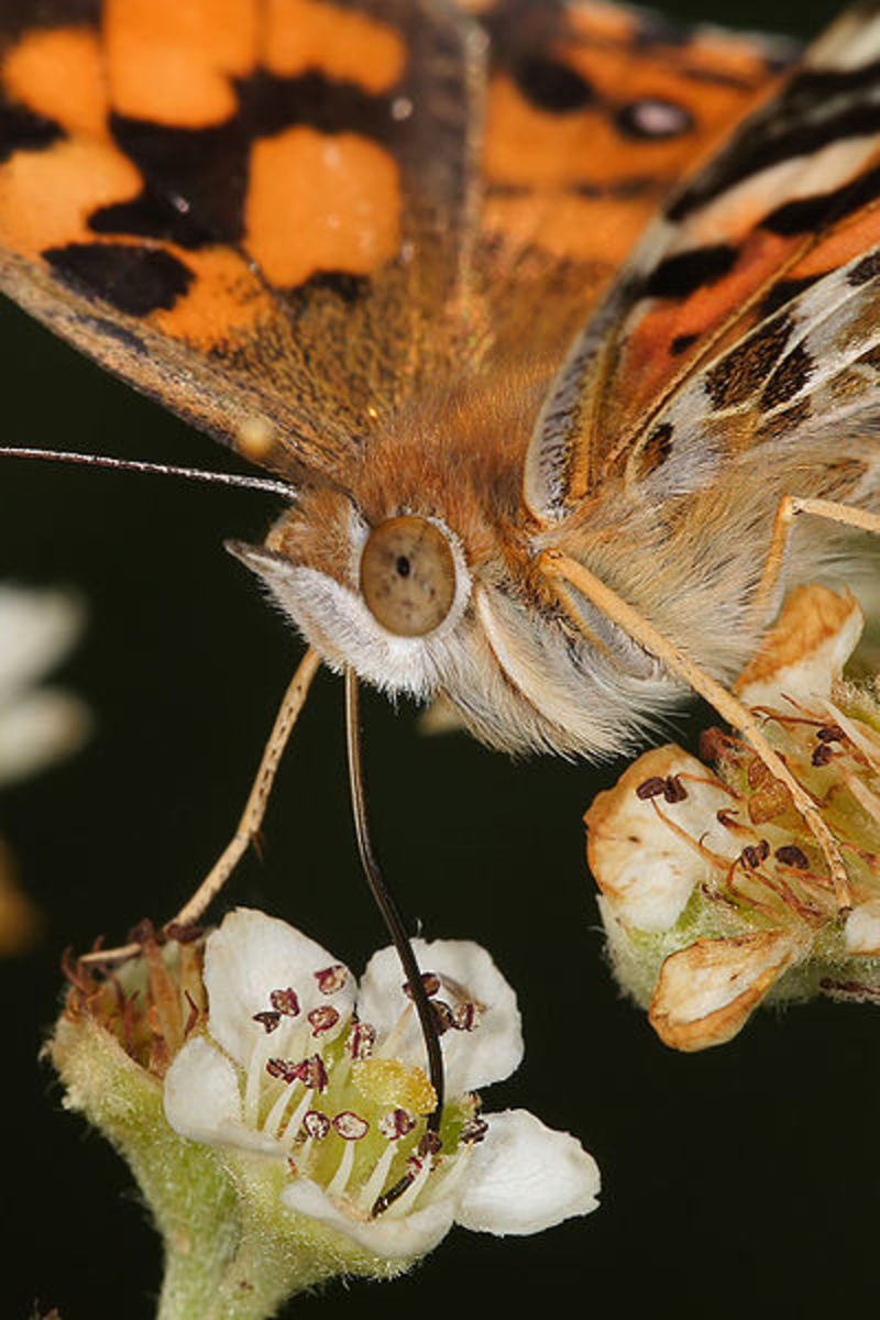 A Painted Lady Butterfly feeds on nectar produced by the flower. She found it originally by following its scent carried through the air on water vapor molecules.