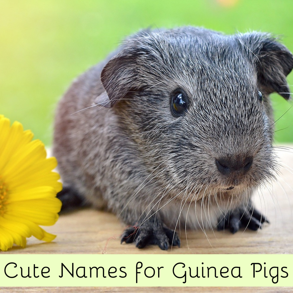 What would you name this guinea pig? How about Pewter? Find lots more name ideas in this article!