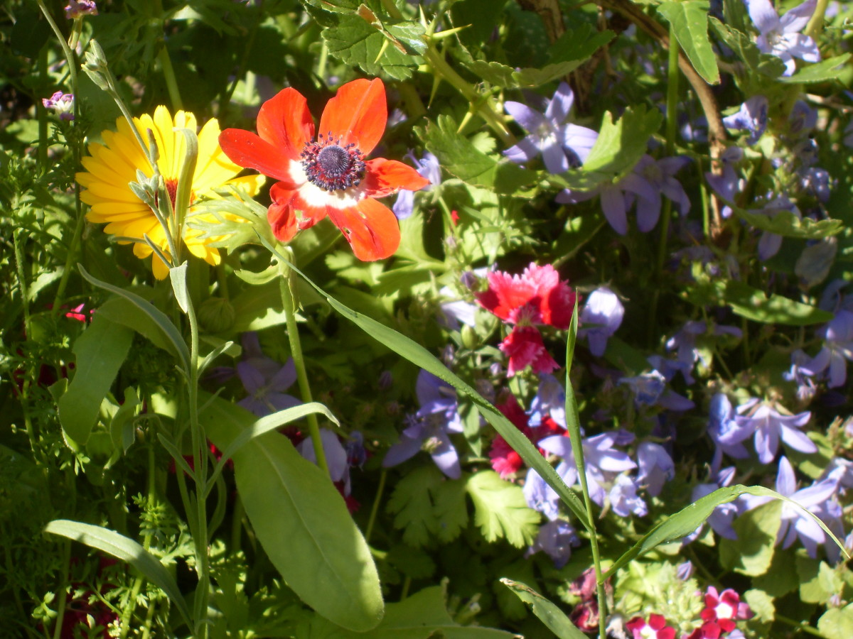 Poppies and Marigolds all grown from seed gathered the previous year