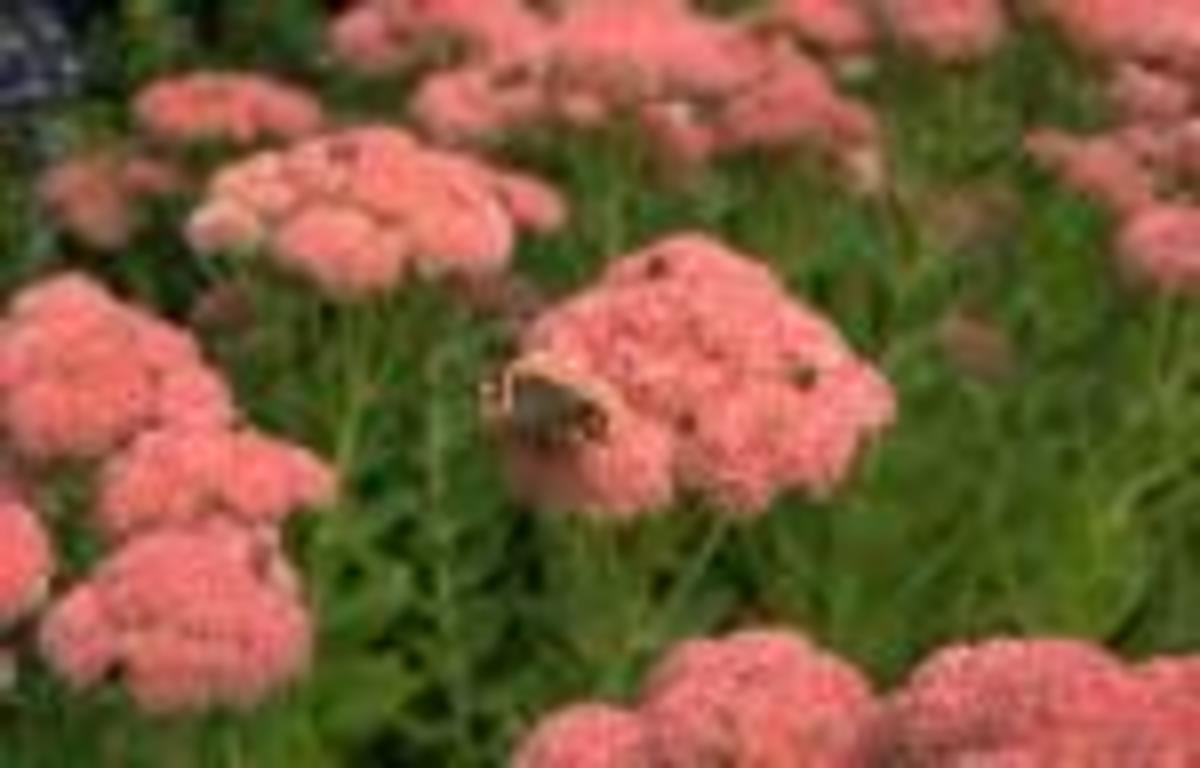 This Sedum will attract butterflies into October