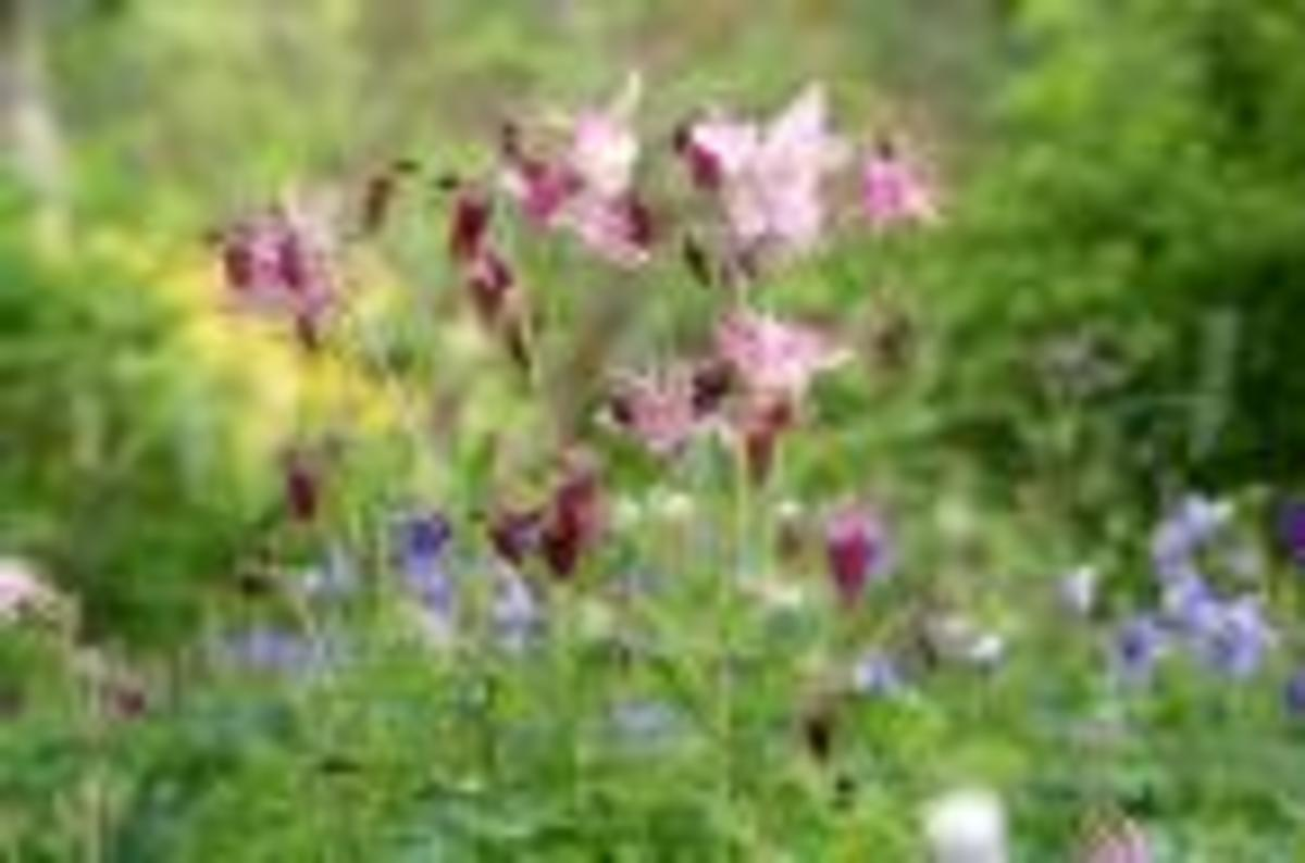 Aquilegia also known as Granny's bonnets