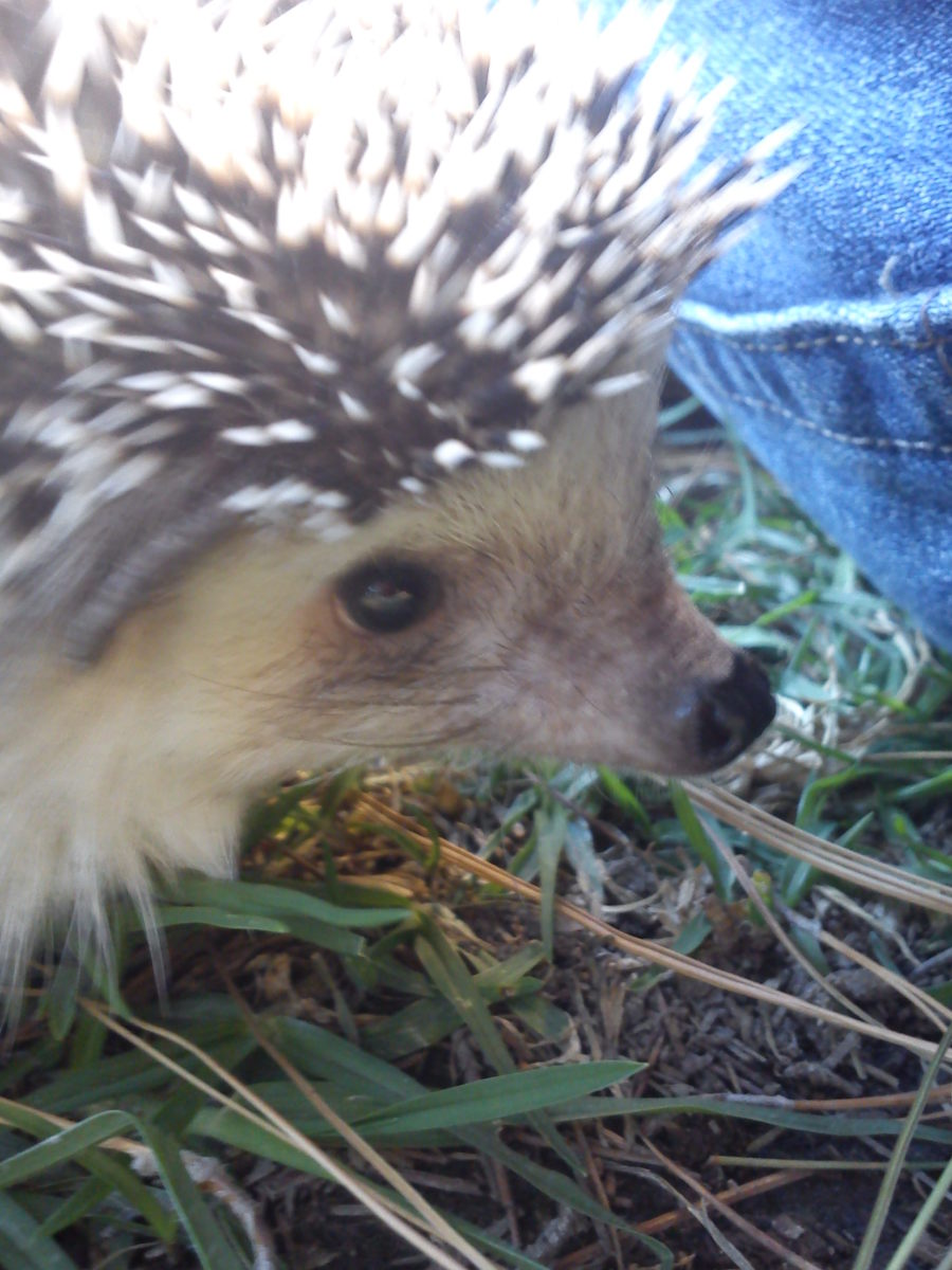 "This photo show the face of a hedgehog with a ""mask"" of pink/brown color."