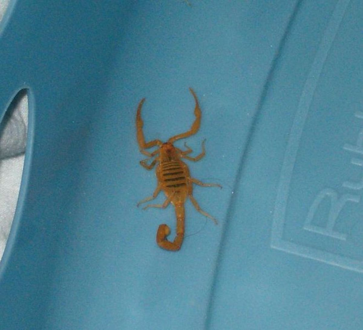 This one was found in the bottom of a laundry basket in Chandler, Arizona... a good case for not having laundry baskets outdoors in the southwest U.S.