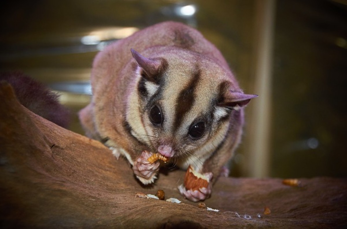 How to Take Care of Sugar Gliders