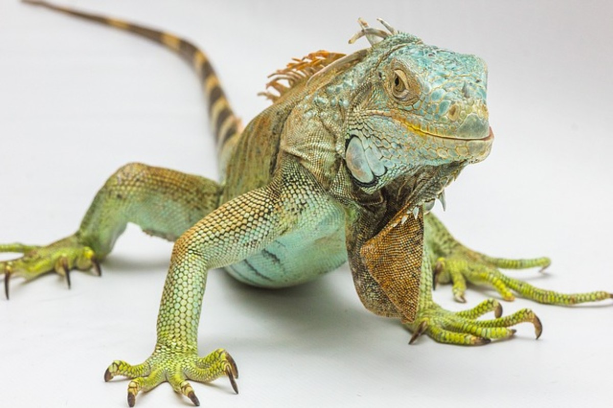 Green Iguana Basic Care