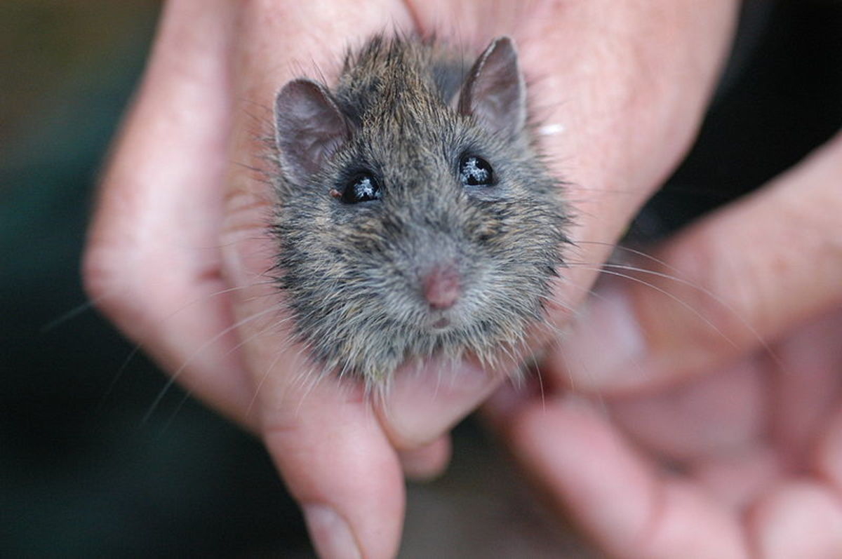 Mouse Control: The best types of mouse traps and which ones to avoid