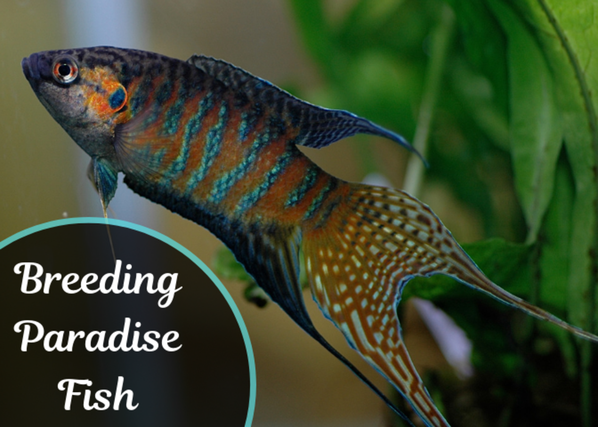 How to Breed Paradise Fish