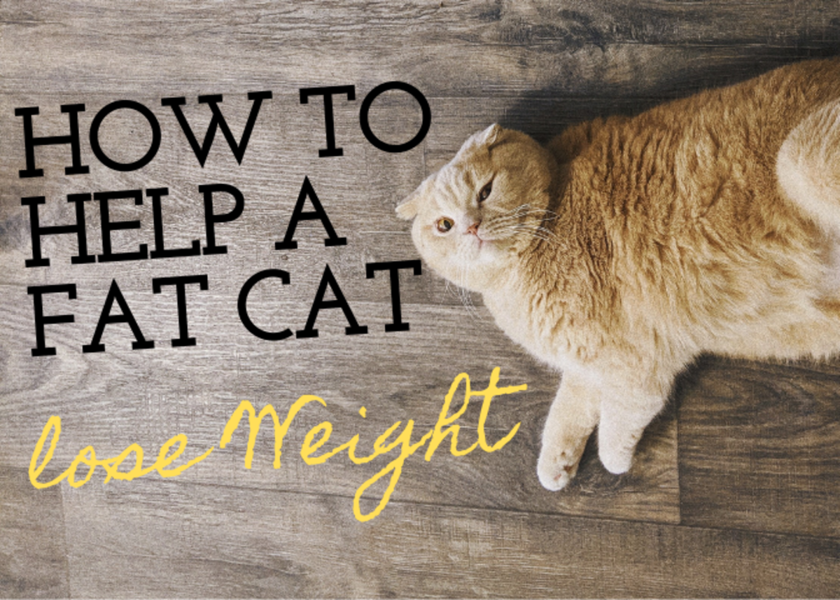 6 Ways to Help Fat Indoor Cats Lose Weight