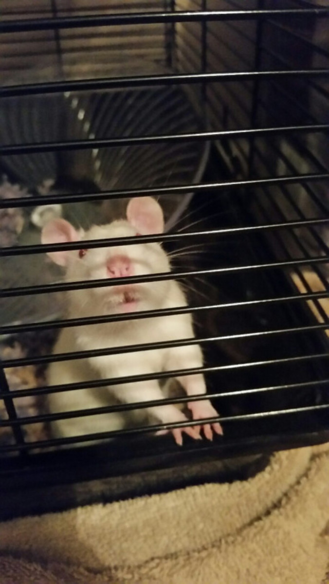 Rat-Care for Beginners: Feeding, Socialization, and General Care