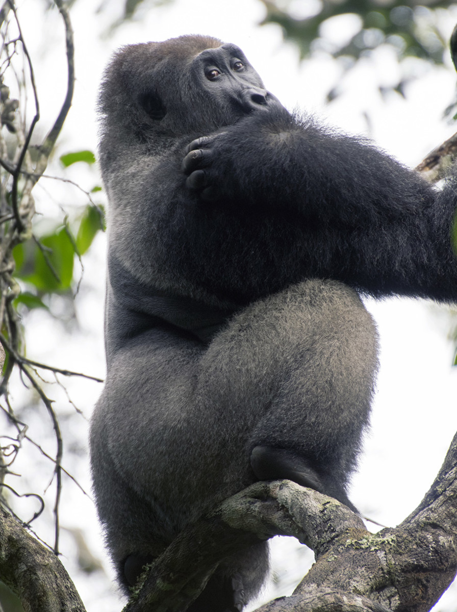 Neptune the silverback. Photo: Matt Feierabend