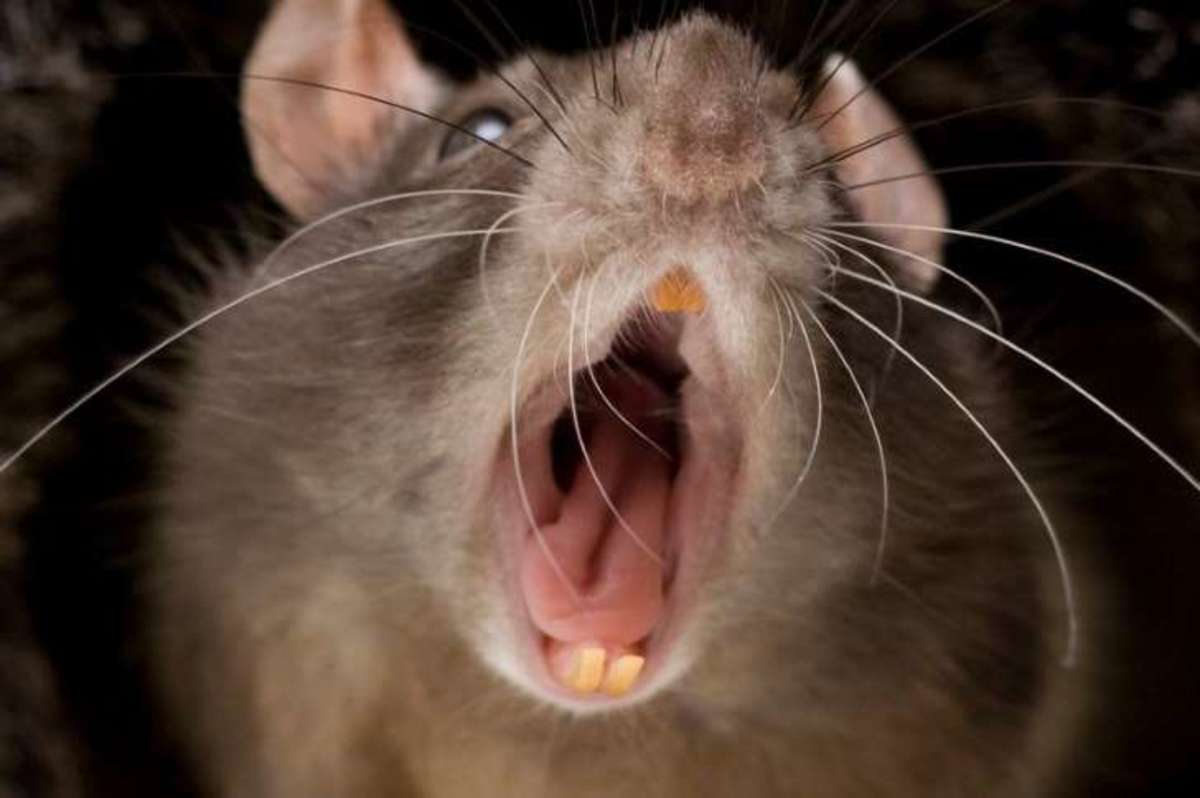 This rat is scary, I believe it is a cannibal rat, they can attack anything and anybody, see this story on the Internet.