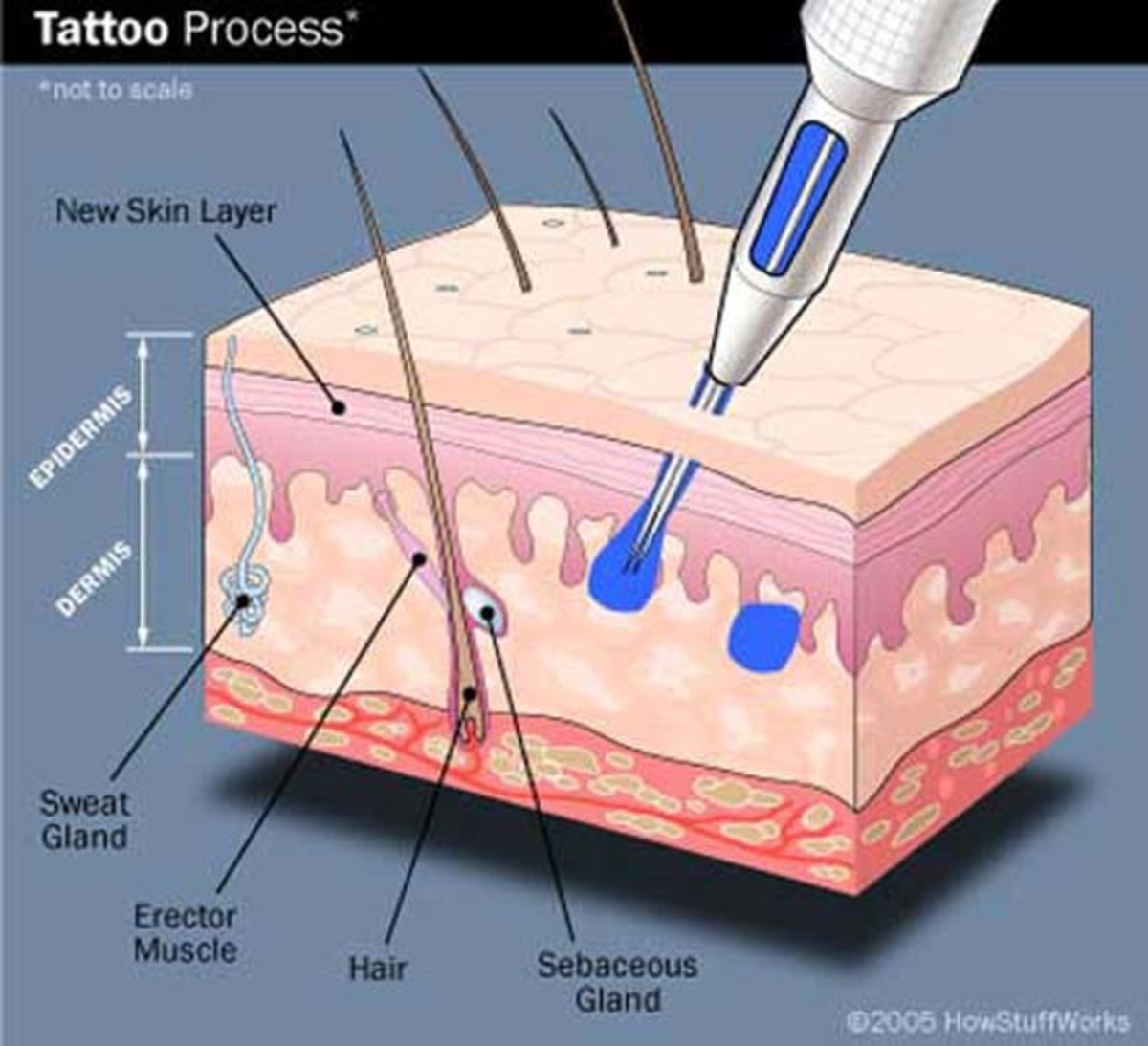 The biology behind tattooed skin