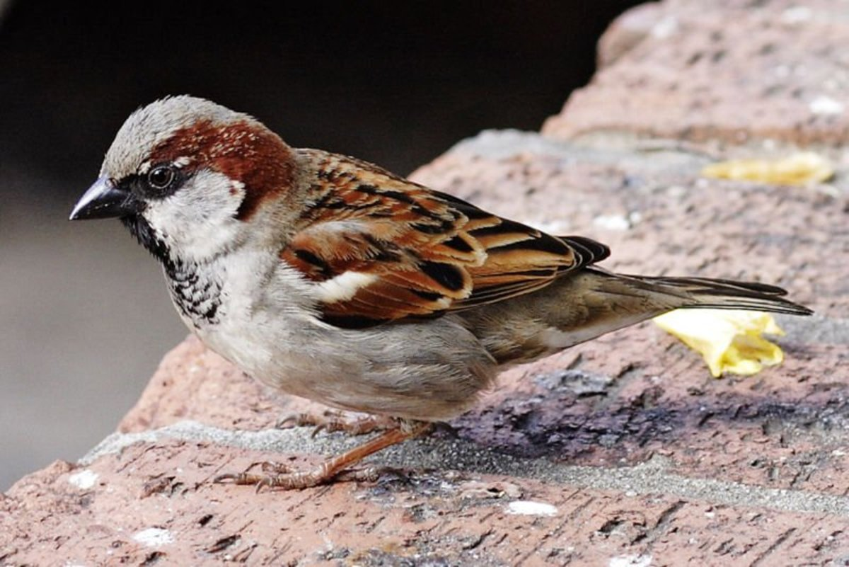 The sparrow is a smaller, shorter-tailed bird