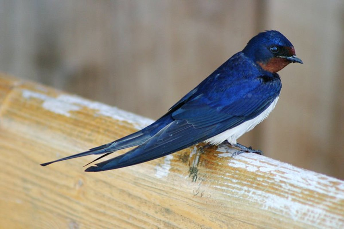 Tattoo Ideas Sparrows And Swallows Tatring