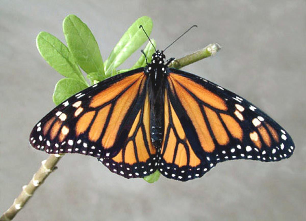 idei-dlya-tatuirovok - Татуировки бабочки став ярости -  - фото