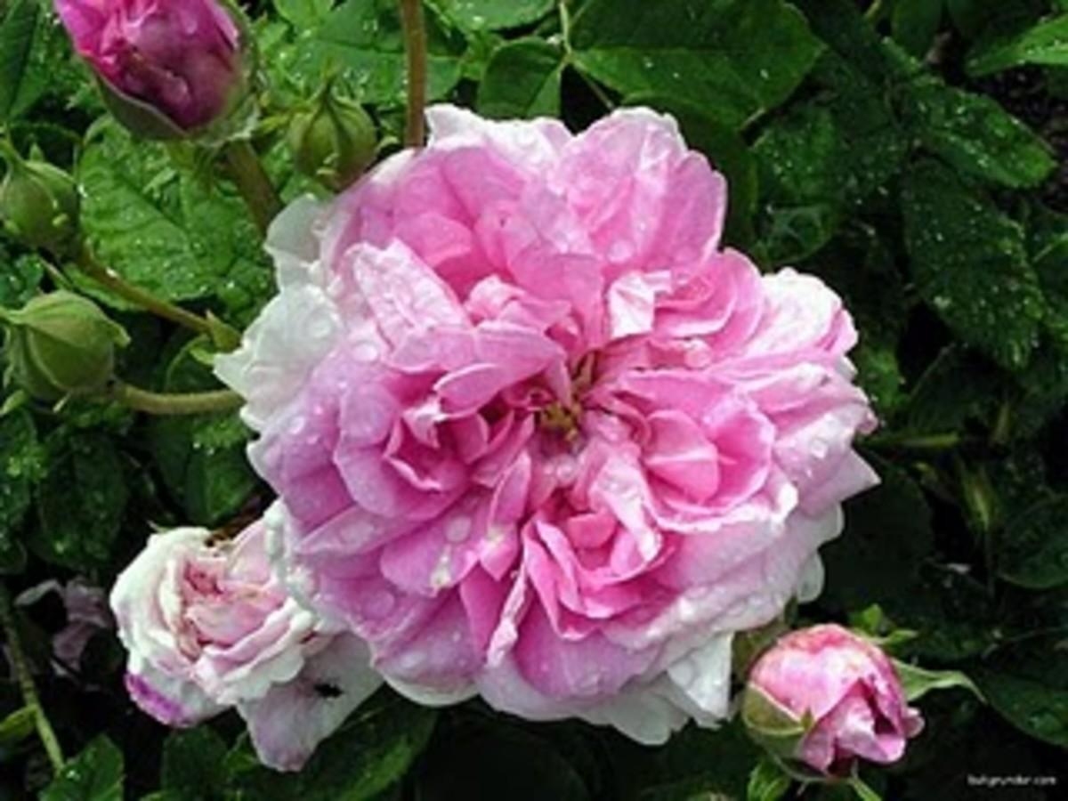 Pink Lokelani