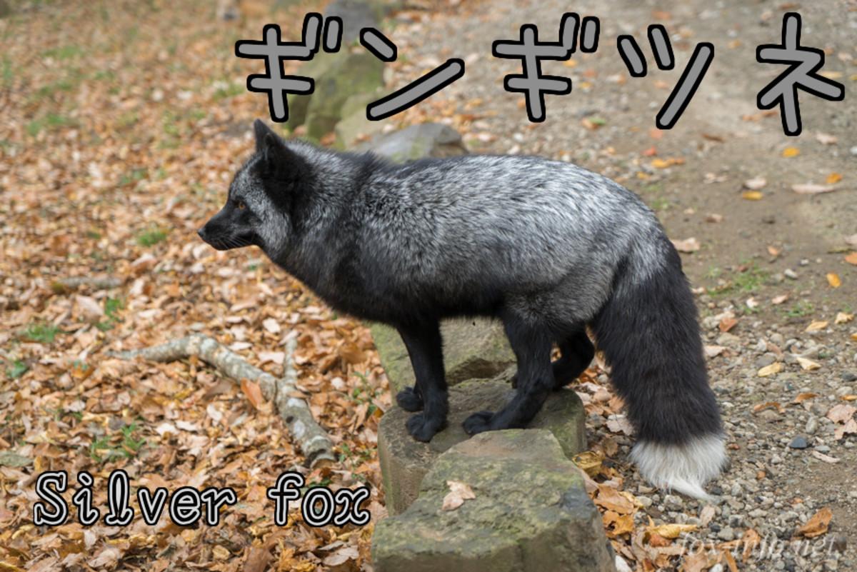 Silver Fox (Gin-gitsune)