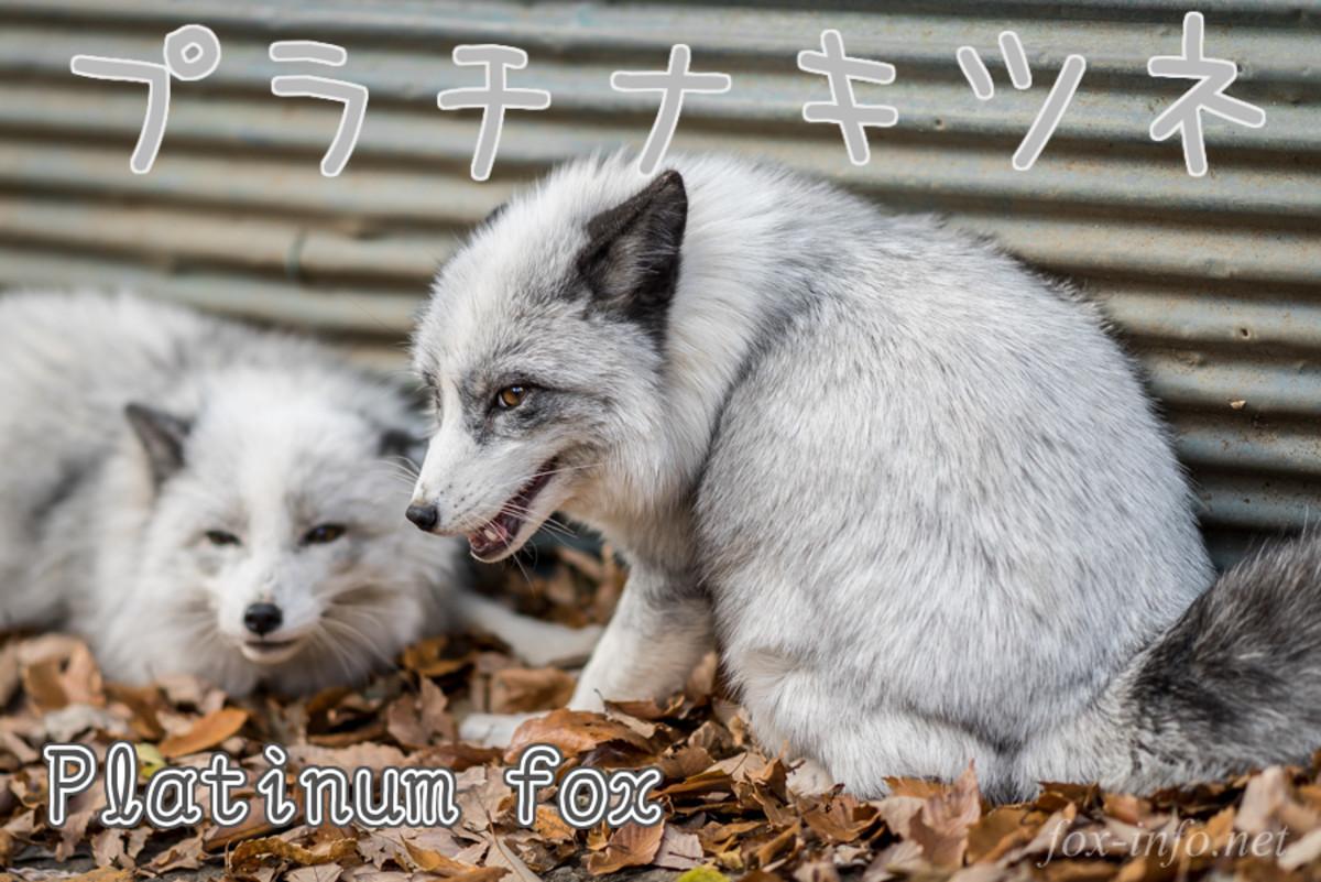 Platinum Fox (Platinum-kitsune)
