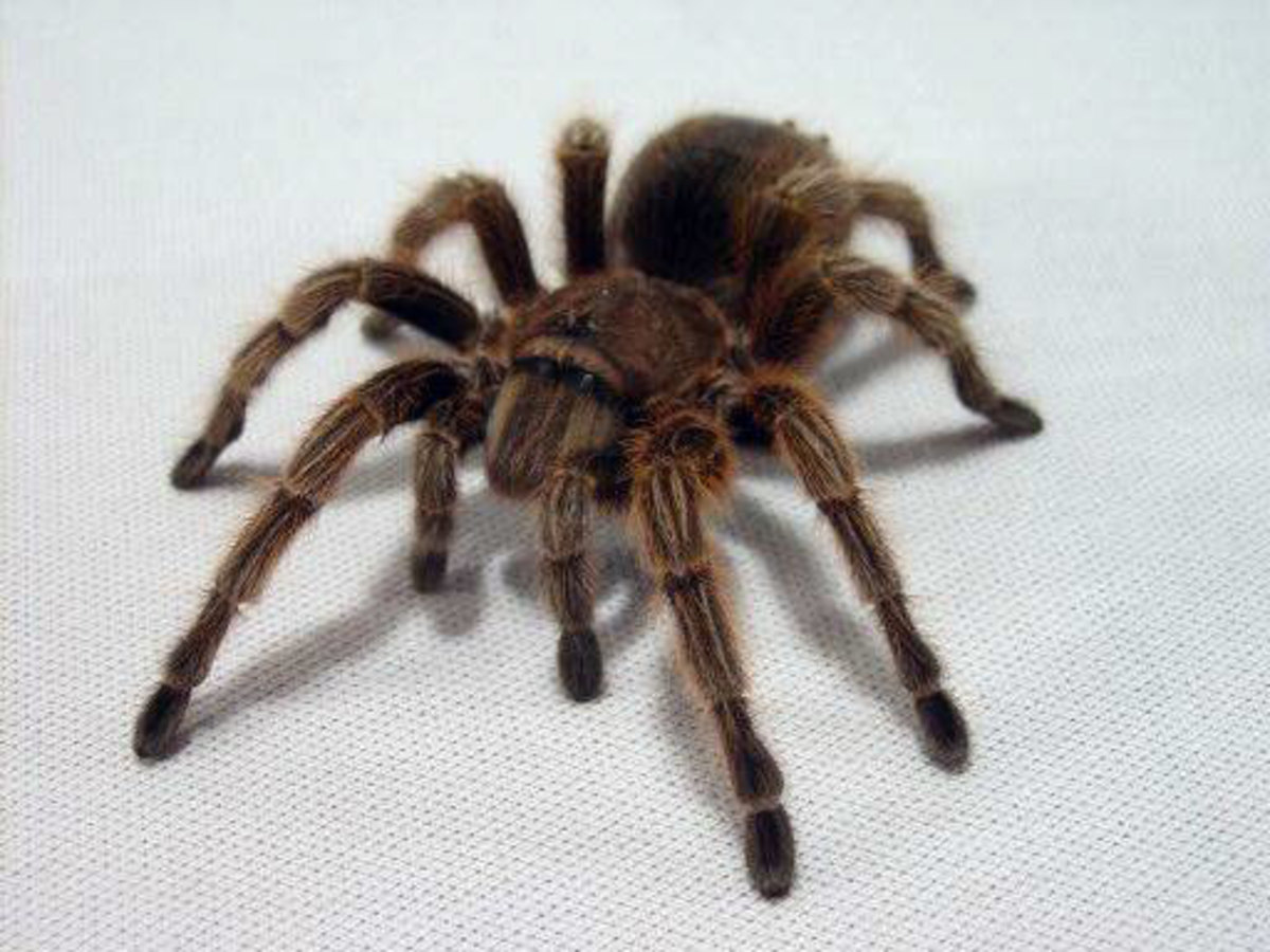 A n adult Chilean rose hair tarantula