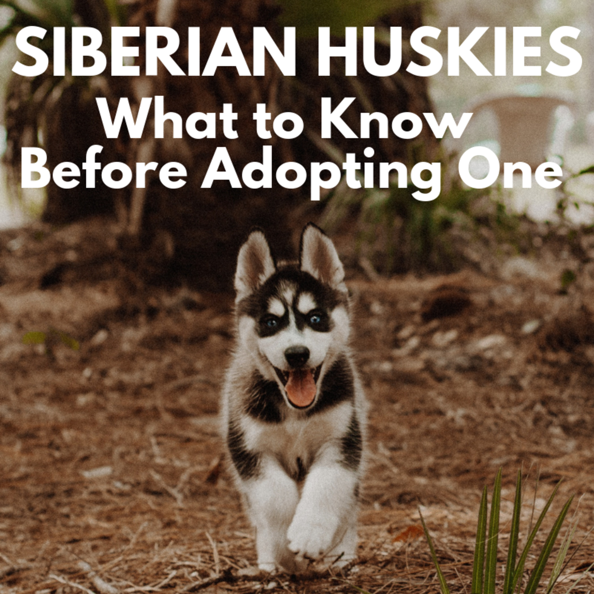 Five Things to Know Before Adopting a Siberian Husky