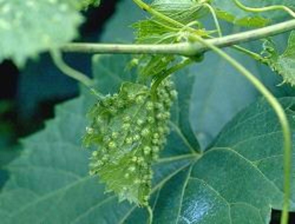 """Galls"" on phylloxera infected grape leaves"