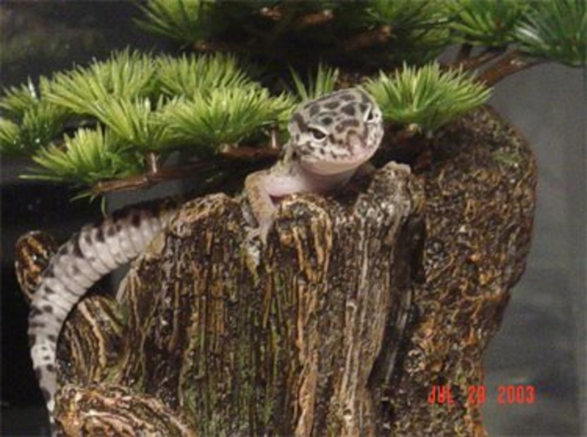 Native Habitat of the Leopard Gecko and Setting Up a Natural Enclosure