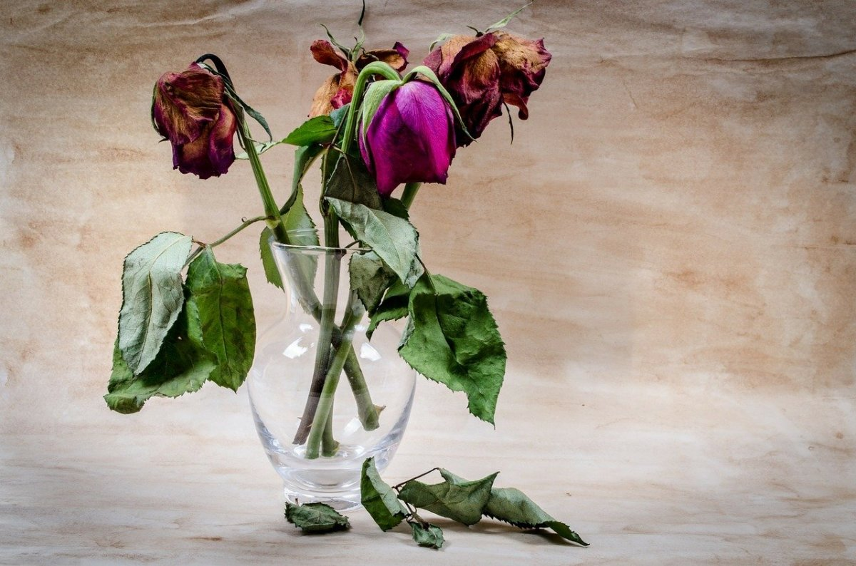 The brilliance of fresh roses withers away after the revelation of broken trust.