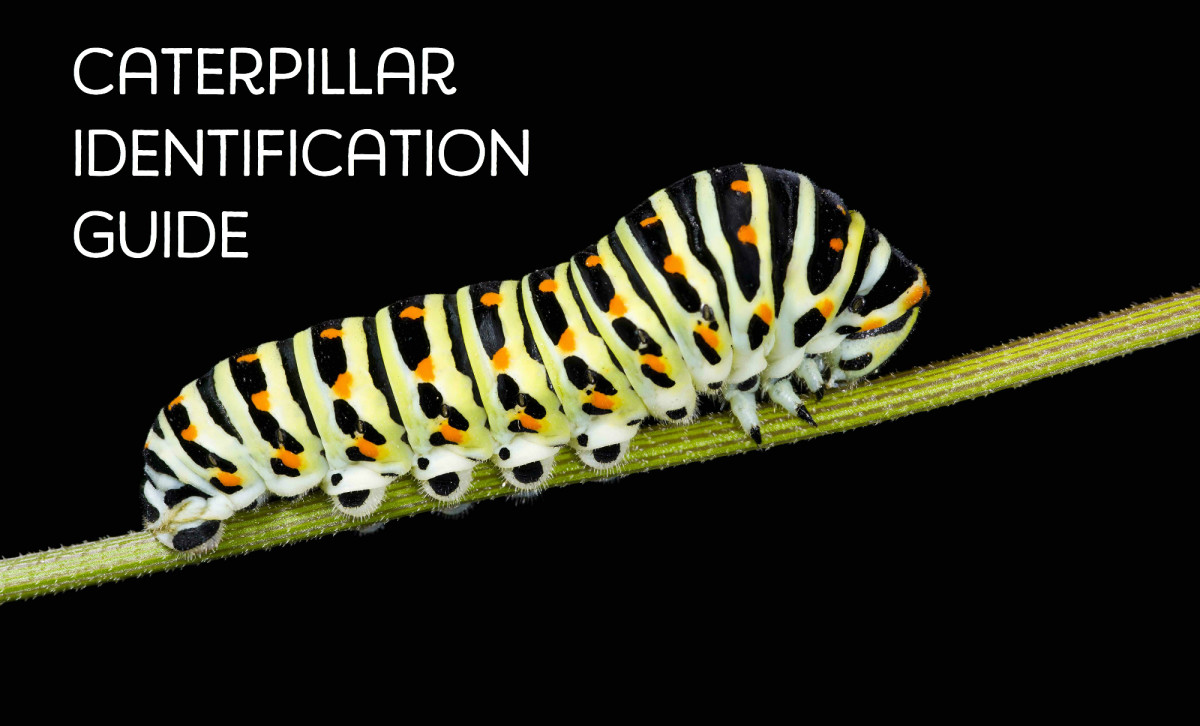 The beautiful black swallowtail caterpillar is often found on parsley or dill.