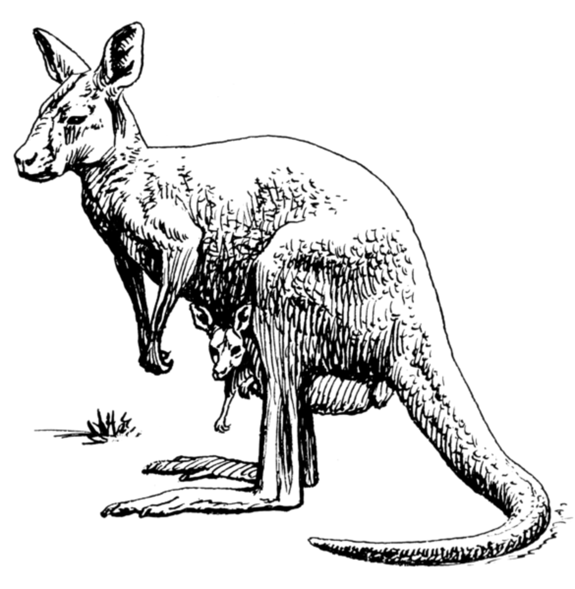 Is there a rare species of kangaroo living in the dark corners of North America?
