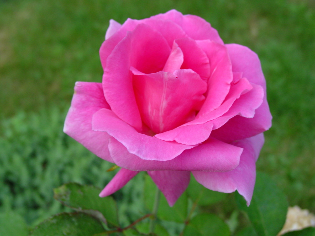 Deep Pink Rose: Carefree Beauty