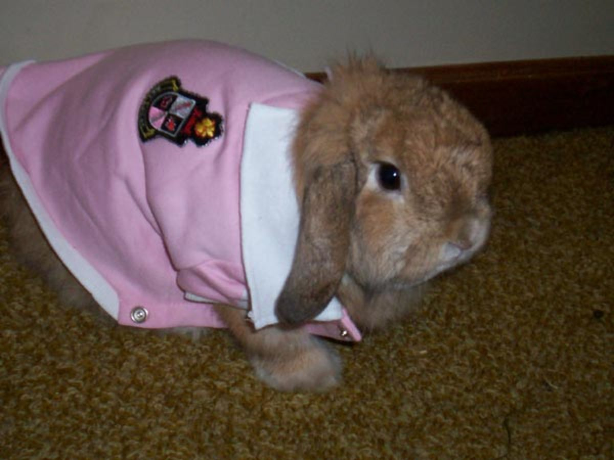 Too cute for this shirt... so cute it hurts...Wicket is modeling a little pink sports sweater in the picture to demonstrate just how amenable bunnies can be to wearing clothing.