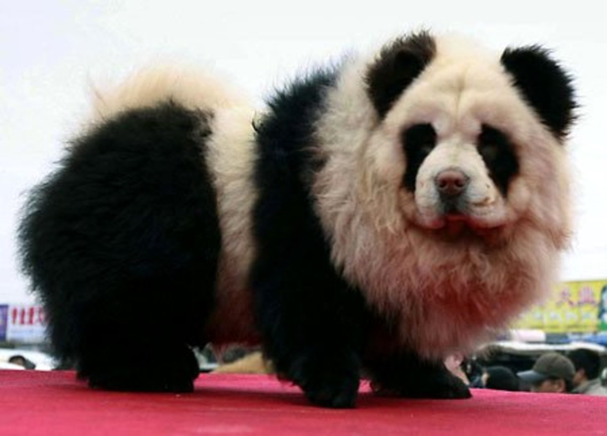 The panda dog is a new species of hybrid panda-meets-dog found in Japan and China. Get this new designer dog while they're hot!