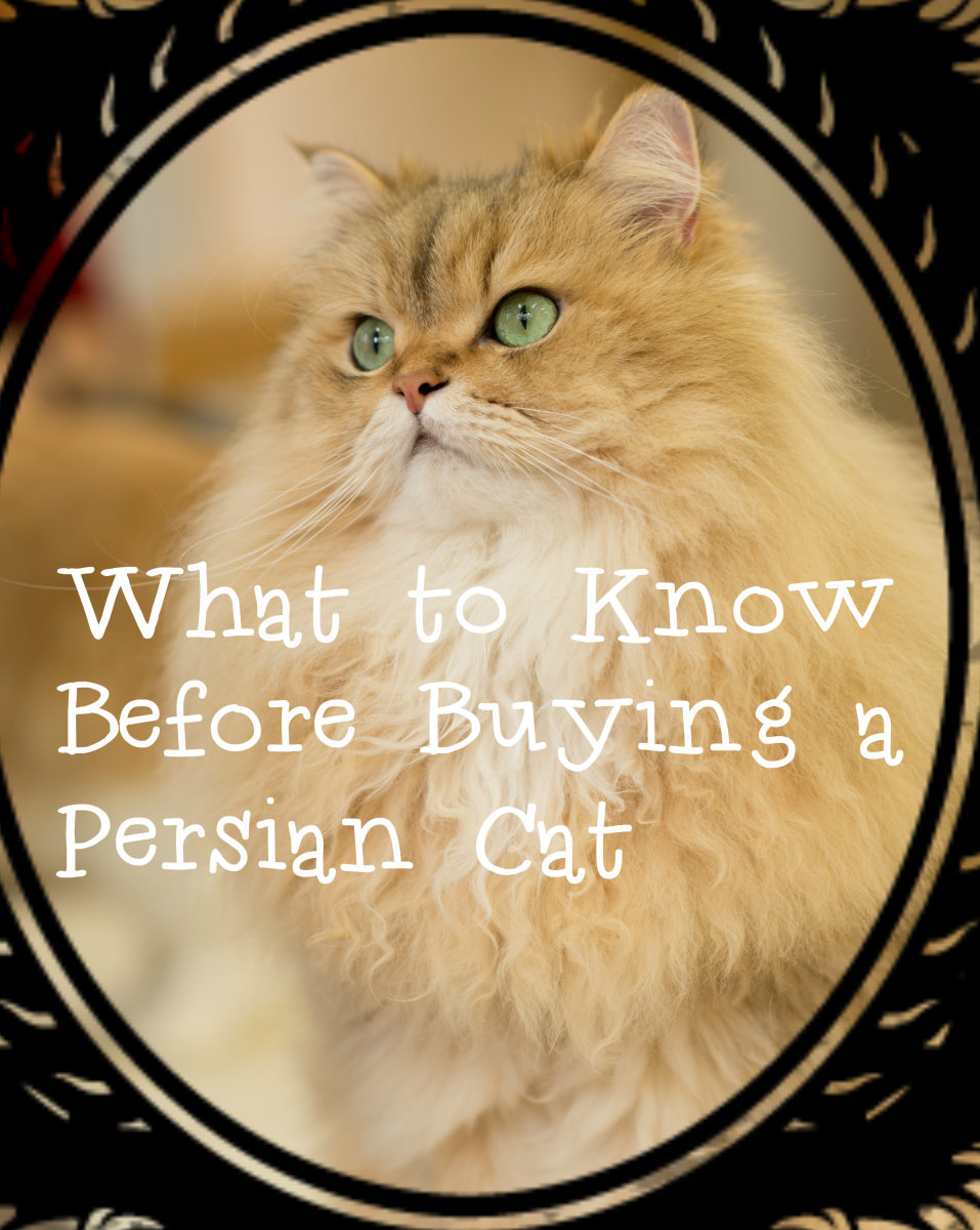 Things to Consider Before Buying a Persian Cat