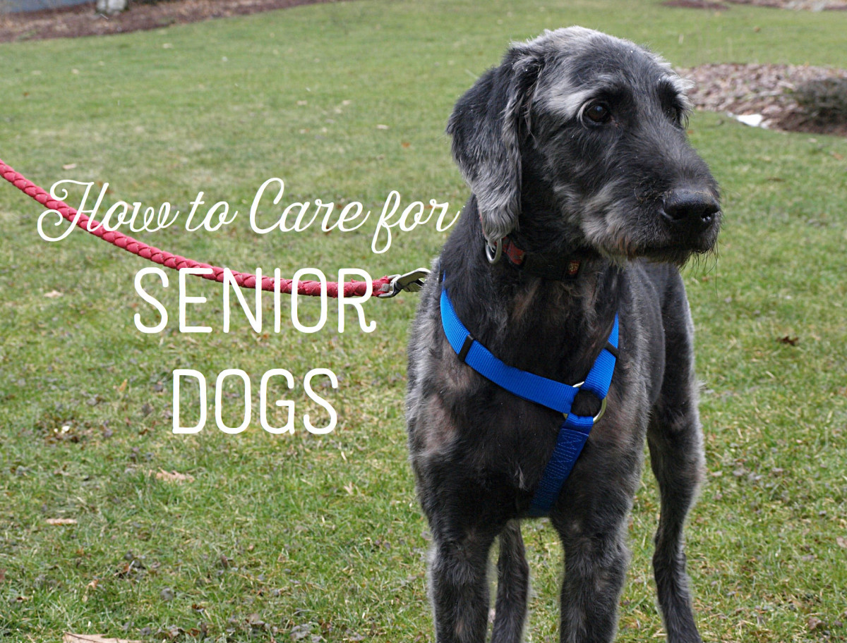 Caring For An Elderly And Aging Dog