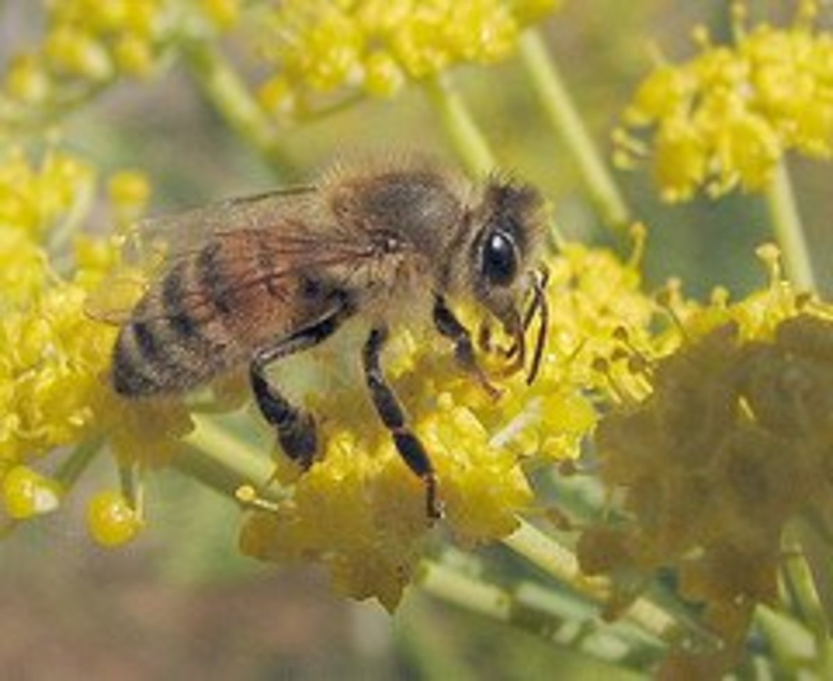 Honeybee, by wolfpix