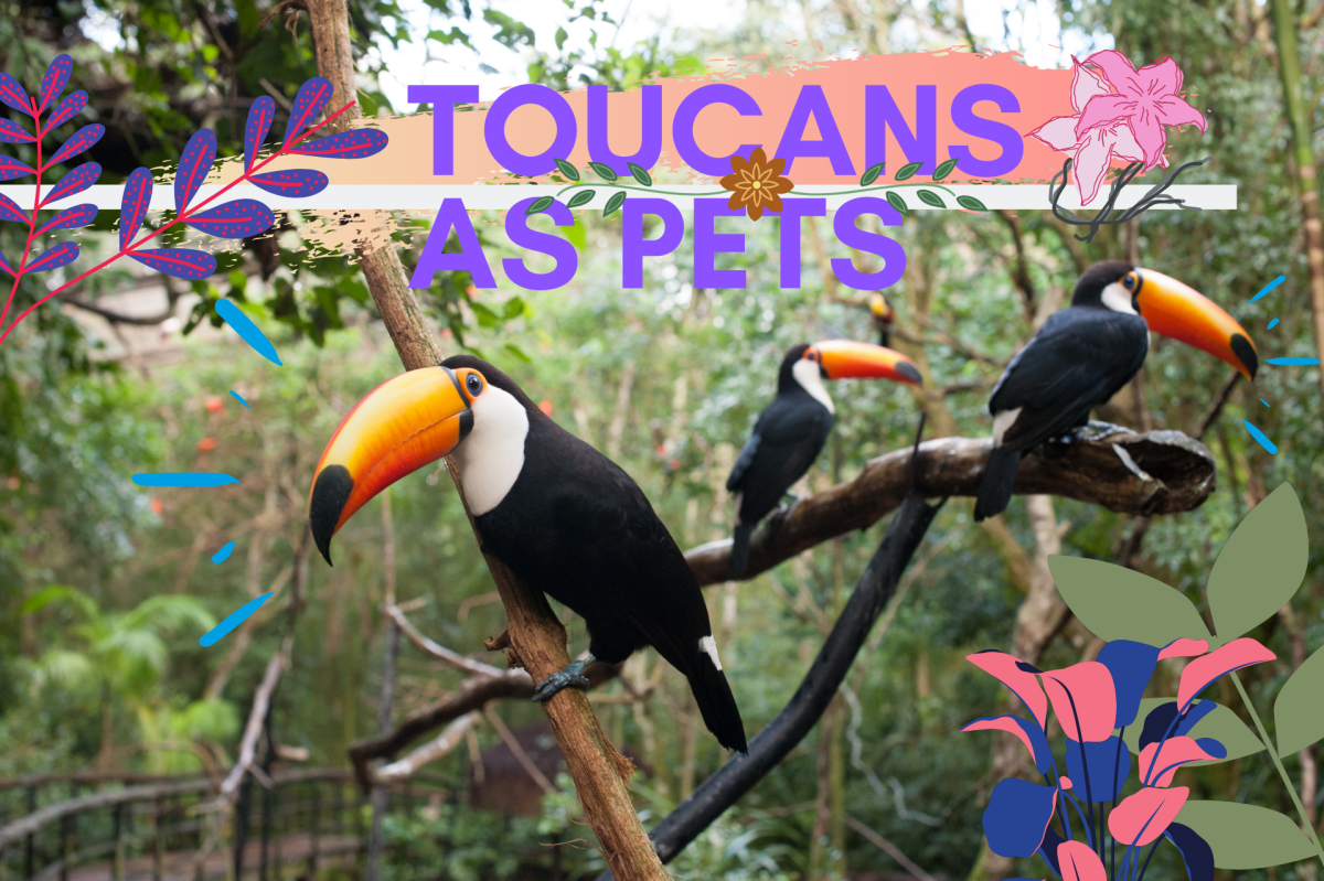 Toucans make great pets! Discover why these quiet, affectionate birds are not as difficult to care for as some people think.