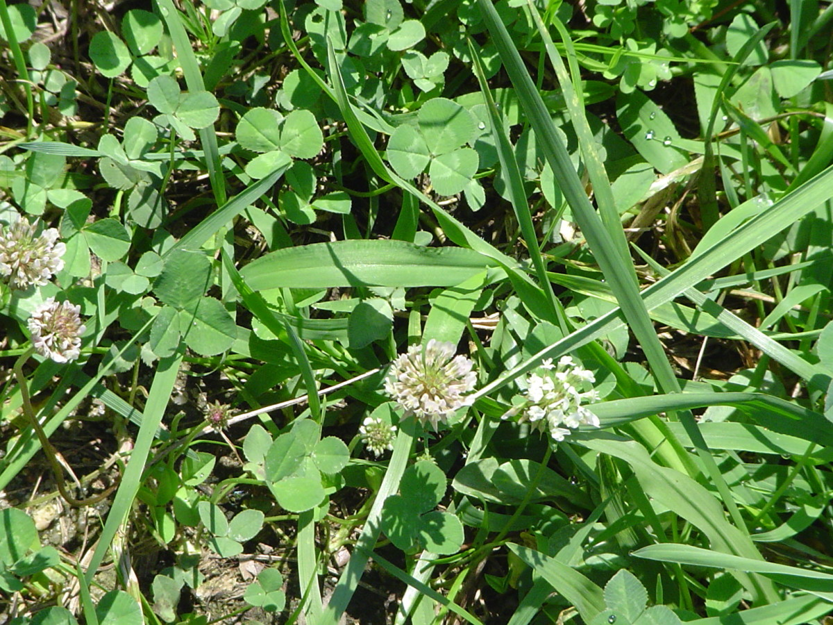 White Clover is common in many pastures