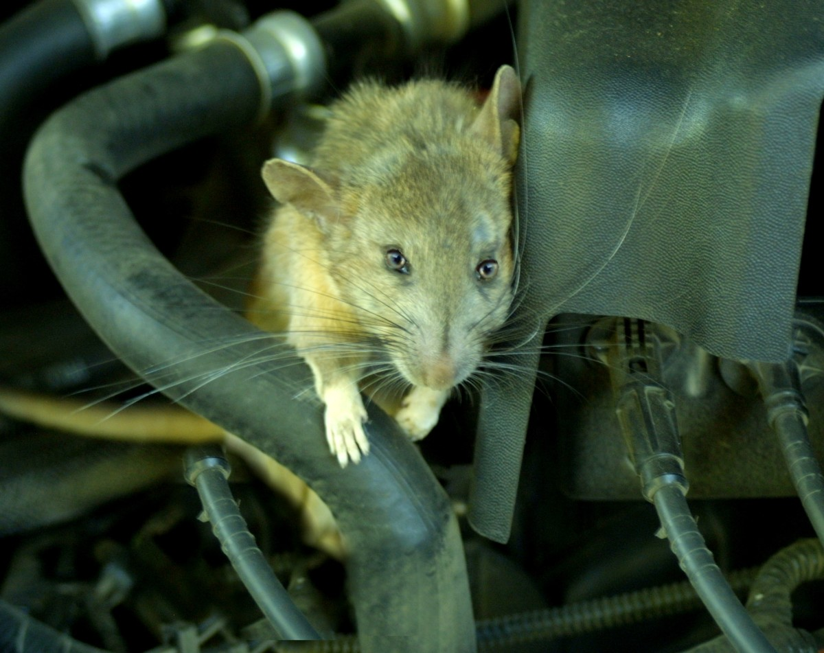 How to Keep Mice, Rats and Other Rodents out of Your Car Engine