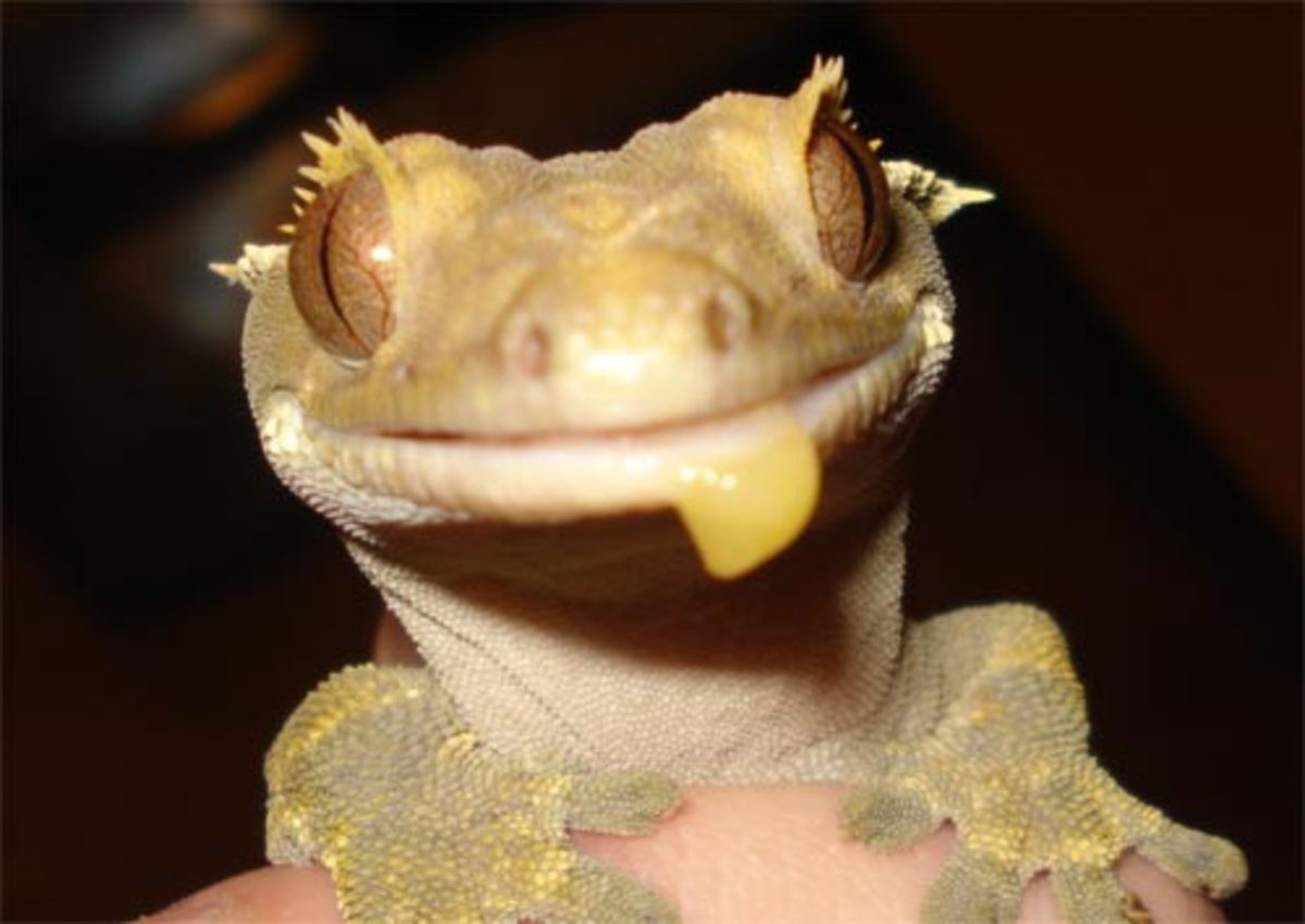 Homemade Crested Gecko Diet