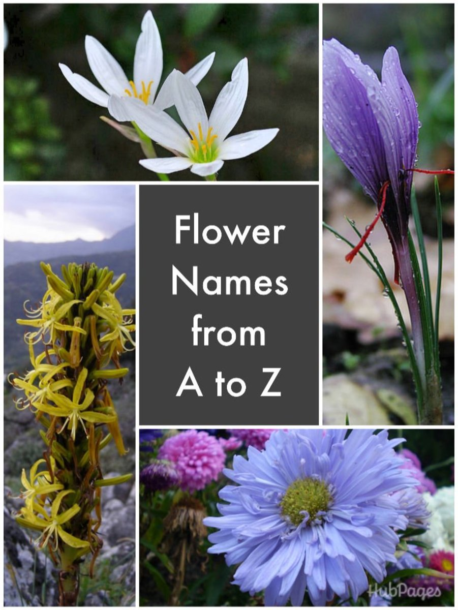 Clockwise, zephyranthes, saffron, China aster, and King's Spear.
