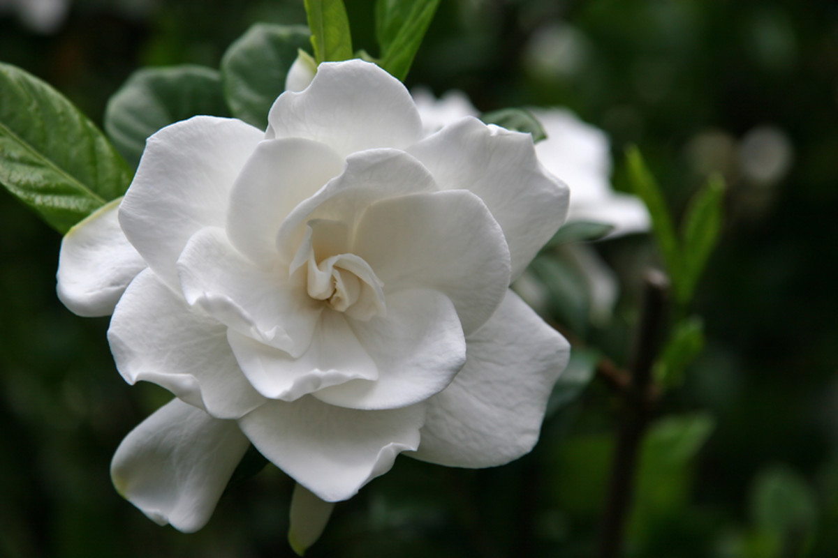 Gardenia Bloom.  Photo by Jill Lang/Dreamstime.