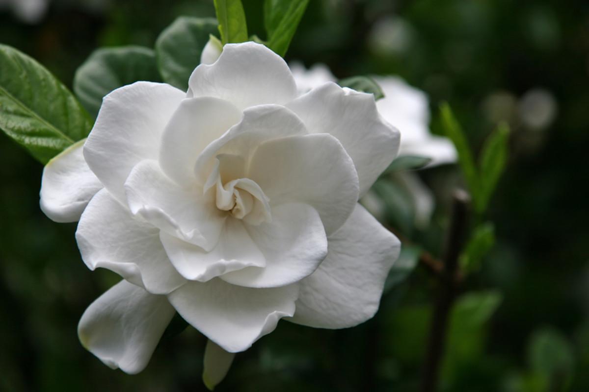 4 Major Gardenia Problems