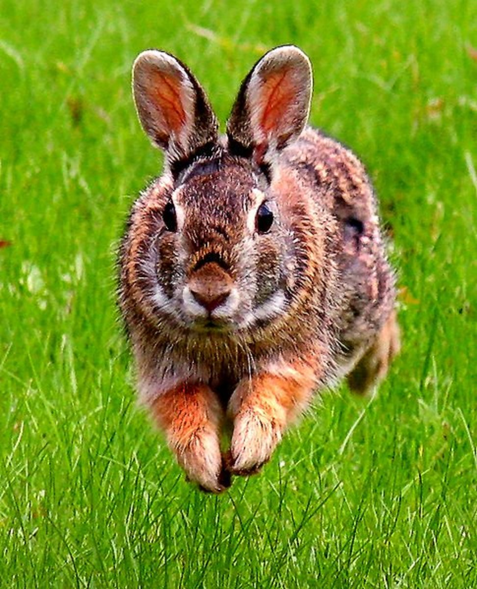 A highly fibrous diet aids a rabbit in its fast flight response.