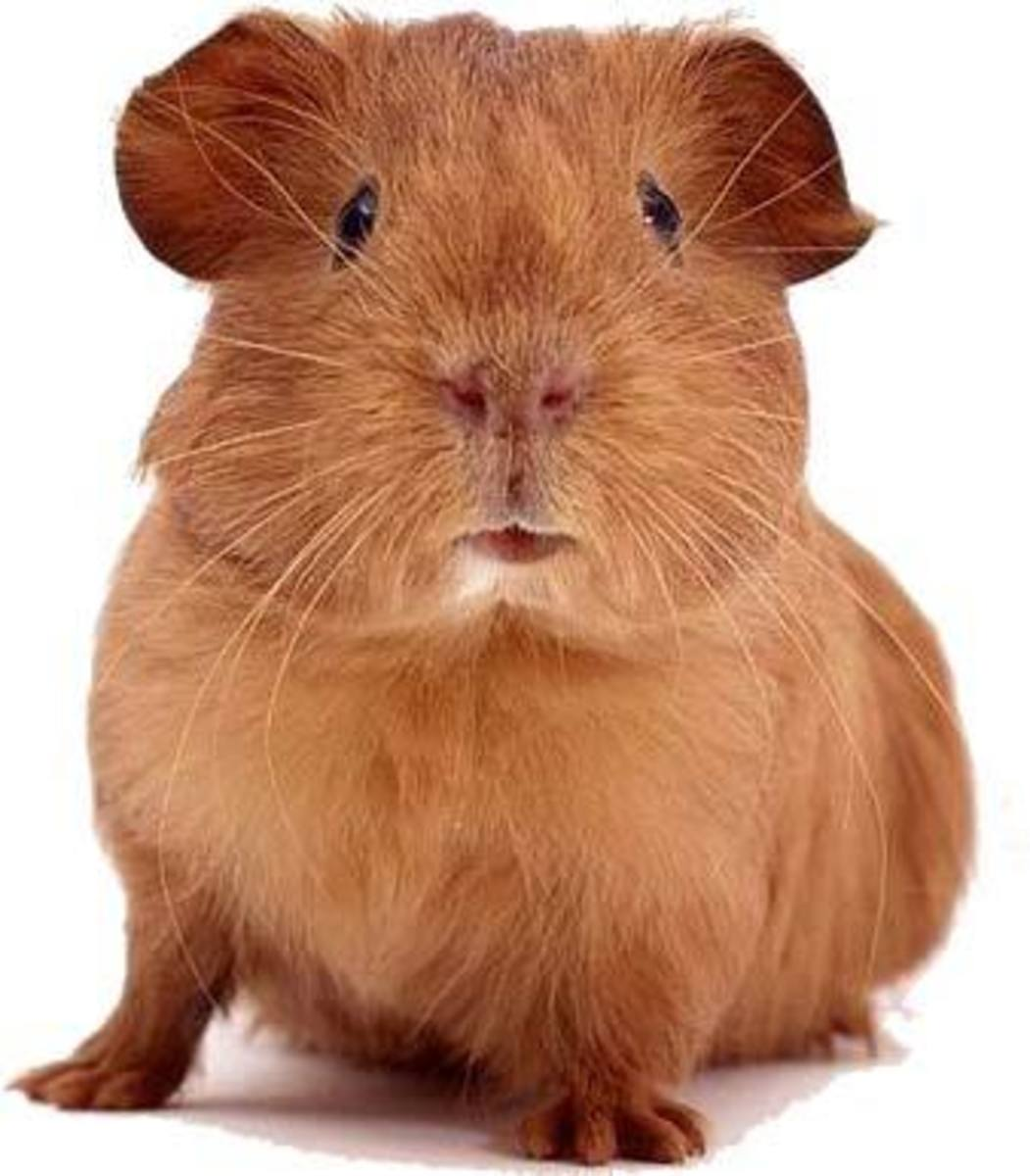How to Care for and Choose your Guinea-Pig (Cavy)
